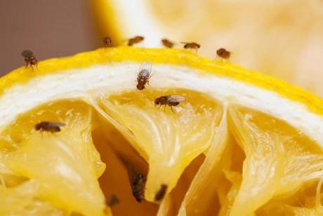 You can make a simple trap to catch fruit flies indoors.