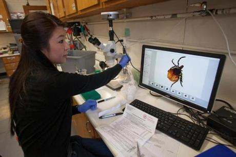 Lab technician Vien Nguyen used a high-powered microscope to examine a deer tick sent in by a resident of Putney, Vt., at the UMass Extension Tick Assessment Laboratory. The lab tests the specimens mailed to them daily for the bacterium that causes Lyme disease and other tick-borne diseases.
