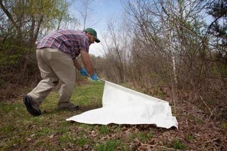 PhD candidate Mostafa Elfawal dragged a large piece of canvas through the brush to collect deer ticks on Orchard Hill near the UMass campus in Amherst on April 2. Researchers examine the ticks at the Laboratory of Medical Zoology, which also tests the specimens mailed to them daily for the bacterium that causes Lyme disease and other tick-borne diseases.
