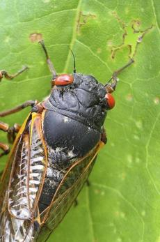 A cicada in Pipestem State Park in West Virginia on May 27, 2003.