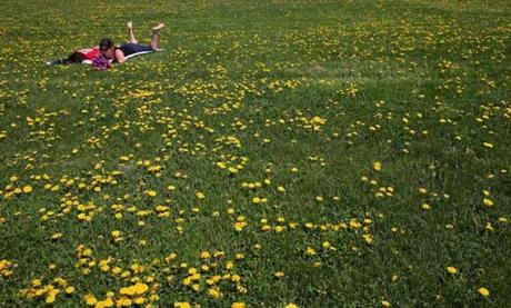 Dandelions made for a pleasant resting spot on a hill at Castle Island for Sapna Saxena and Amanda Holm of Boston.