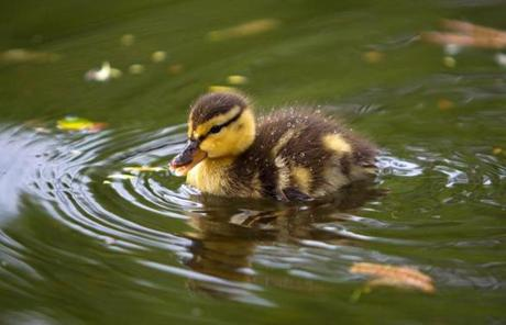 A new resident at the pond in the Public  Garden.