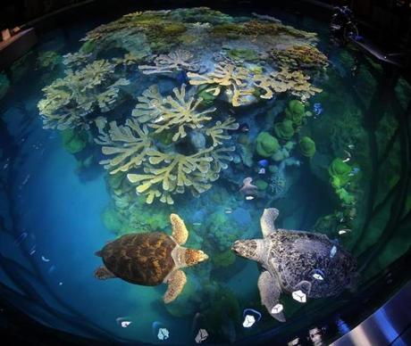 Carolina (left), a loggerhead turtle, and Myrtle the turtle were reintroduced to the giant fish tank at the New England Aquarium after its renovation.