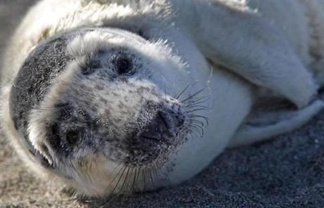 A grey seal pup on a beach in Hull in February.