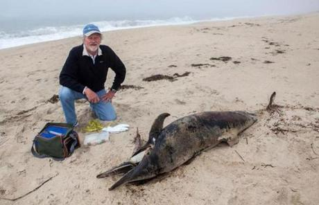 "David Nash of Edgartown, a marine mammal volunteer for the New England Aquarium, at South Beach on Martha's Vineyard,  ""I'm honored to be part of this network,'' he says."
