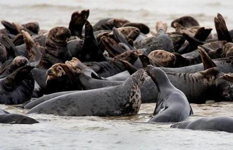 Unlike harbor seals, gray seals congregate in colonies to breed, most notably in Chatham and on Muskeget Island.