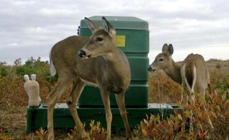 When deer poke their head between two rollers to feed, like this doe and fawn at an experimental feeding station in Nantucket, their head, necks, ears, and shoulders are covered with pesticide to kill and repel ticks.