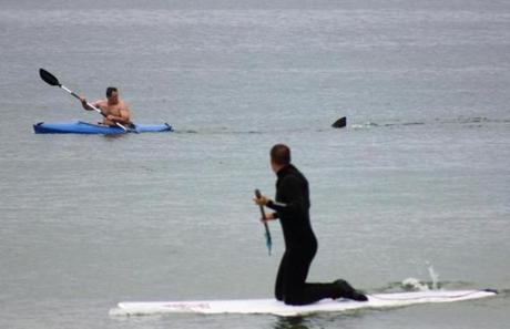 In July 2012, a dorsal fin followed a kayaker off Orleans, north of Chatham.