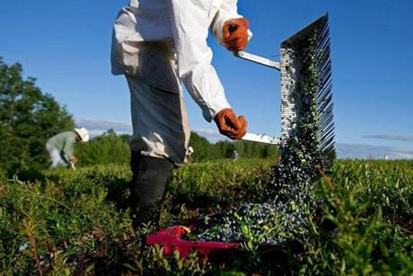 A worker raked wild blueberries from last week. More than 80 million pounds are expected to be harvested this year.