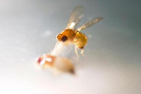 The spotted wing drosophila is an Asian fly found in California in 2008.