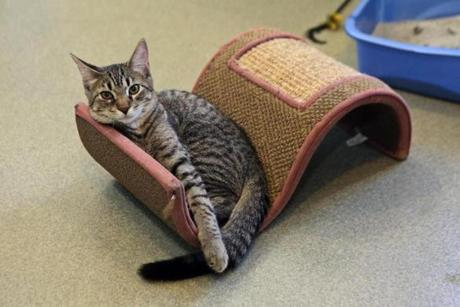 P.J. is one of the kittens hanging out in the kitten room waiting to be adopted at the MetroWest Humane Society.