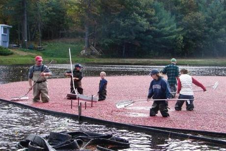 Visitors helped harvest cranberries in the bogs at Mayflower Cranberries in Plympton.