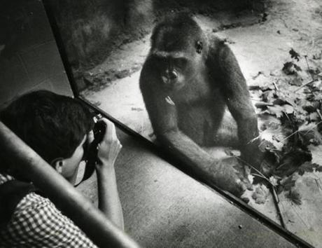 July 28 ,1989:  KiKi, an 8-year old gorilla from the Stone Zoo, had a new home at the Franklin Park Zoo. She got her picture taken at the