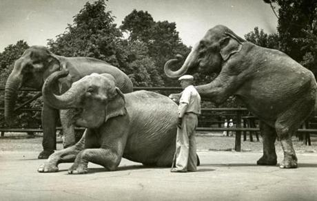 July 1, 1939:  The elephant house shows Hazel, Dutch and Waddy showing off for the zoo keeper. Hazel and Dutch arrived in May to join Waddy, the 75-year-old pachyderm who had been living a lonesome life in the zoo elephant house. A record-breaking 35,000 visitors came the first day.