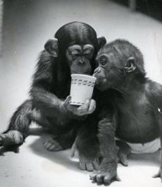 January 22, 1968:  Joshua, the 1 1/2-year-old chimpanzee on the left, shared his drink with Pan-Ku, the 9-month-old baby gorilla.