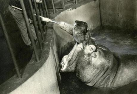 April 26, 1936:  One of the most popular of the zoo animals was Happy, the hippopotamus who shared the elephant house with Waddy and Teddy, and who was shown here getting his teeth brushed with a broom. His reputation for dramatic entrances was such that children would wait near his pool in droves, hoping to be present when he rose up out of the the pool, snorting and bubbling, opened his tremendous jaws and displayed his massive teeth.