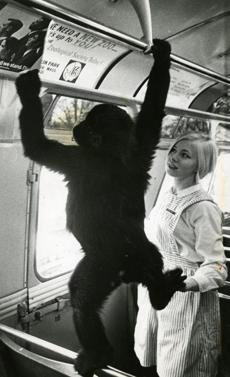 December 4, 1968: Pan-Ku, the baby gorilla, helped Kathy May of the Zoological Society hang posters on the MBTA buses. The posters were a plea for a new zoo from the Boston's Zoological Society and featured Pan-Ku's picture.