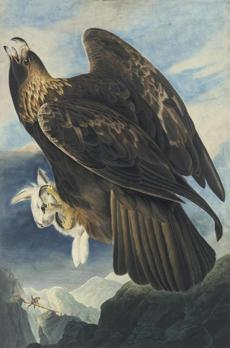 Audubon's painting of a golden eagle from 1833.