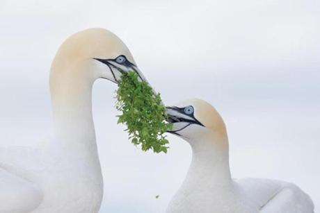 An Arthur Morris photograph of Northern gannets at the Museum of American Bird Art at Mass Audubon.