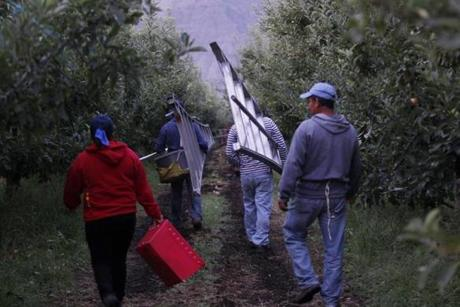 Workers took to the fields at Stemilt Orchards in Mattawa, Wash.