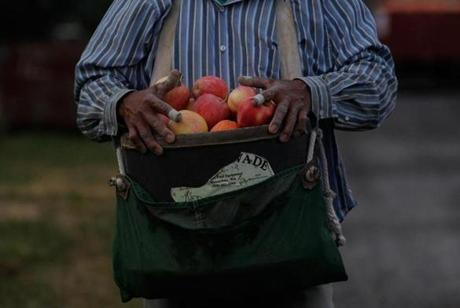 A worker brought his bag of apples to the bin at Stemilt Orchards in Mattawa, Wash.