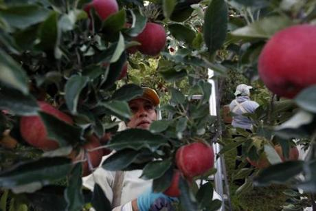Flor Cervantes picked organic apples in the orchards alongside her daughter, Alicia, 19.