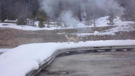A coyote paused on a boardwalk near the Old Faithful geyser.