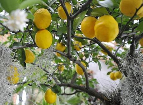 A lemon tree growns inside of the The Limonaia, or Lemon House at Tower Hill Botanic Garden in Boylston.