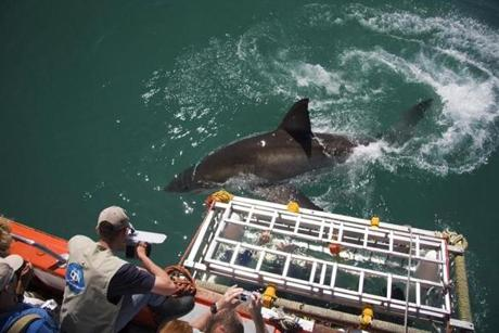 A great white  approaches a cage during a shark-diving expedition off the South African coast.