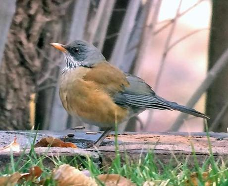 Hayward said he spotted this Rufous-backed Robin during a trip to Arizona.