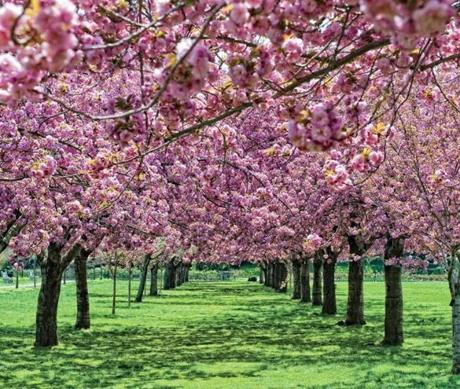 Kitano New York is offering two packages celebrating cherry blossom season at the Brooklyn Botanic Garden.
