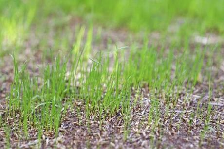 Peter DiClemente of Pure Lawns in Newton recommends planting a blend of seeds.