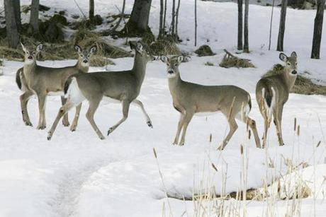 "An 18-fold rise in the deer population has ""set the table"" for predators."