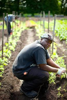 Ronald Monroe, an apprentice farmer with City Growers, tends to tomatoes at the facility's Dorchester location.