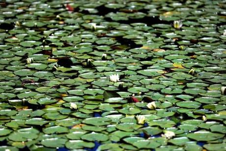 Lily pads cover parts of Carver Pond near the shoreline.