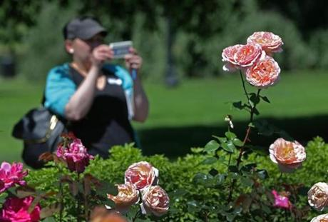 The Public Garden features 300 bushes in four rose beds.