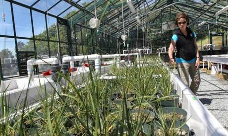 Randall Hughes, a Northeastern professor, described a study of salt marsh plants in the Nahant campus greenhouse.