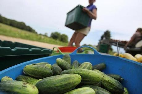 Concord, MA., 08/12/14, Freshly harvested cucumbers at First Root Farm. Laura Olive Sackton, owns First Root Farm. Suzanne Kreiter/Globe staff (The Boston Globe.
