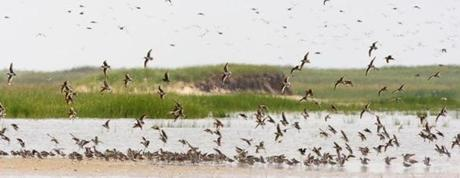 Thousands of shorebirds stop at South Beach in Chatham each fall to refuel for long migrations southward.