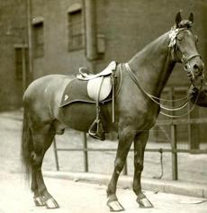 May 18 1927 / fromthearchive / Boston Globe Archive photo / Police horse Sweetie Don't first came into the department in 1913. He helped keep order in the Haymarket district. He was being retired as he had caught a