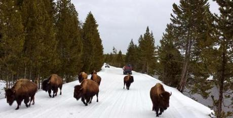 09bigsky - Bison jam on the snow covered roads of Yellowstone National Park. (David Goodman)