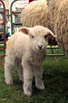 Sheep of all ages will be feautered in a Gore Place Festival Saturday.