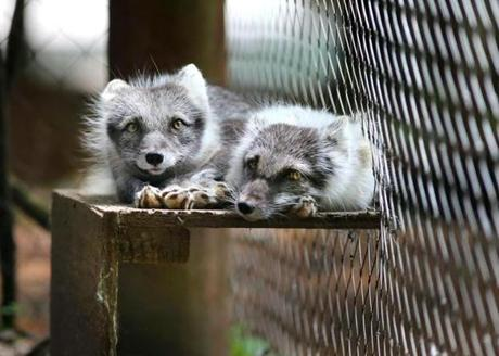 Arctic foxes, a brilliant white in winter, are molting as they rest on a hot, humid day at Stone Zoo.