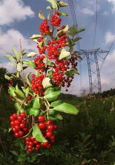 A bounty of wild berries grew along the powerline that comes from Hydro-Quebec and traverses New Hampshire.