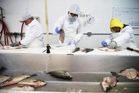Jesus Barragan (left) cut a striped bass as Texeira placed fish portions inside a container to be weighed at Stavis Seafoods.