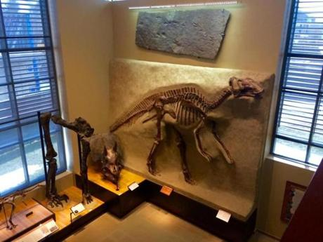 Dinosaur fossils and footprints on display at the Beneski Museum of Natural History.