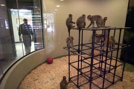 Rhesus monkeys roam around the cubical in the lobby of the New England Regional Primate Center.