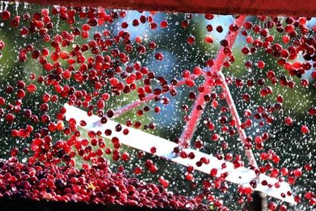 Cranberries full from a conveyor belted into a truck helped by raking them in from above, as cranberry harvest season is in full gear as Weston Cranberry Corp.
