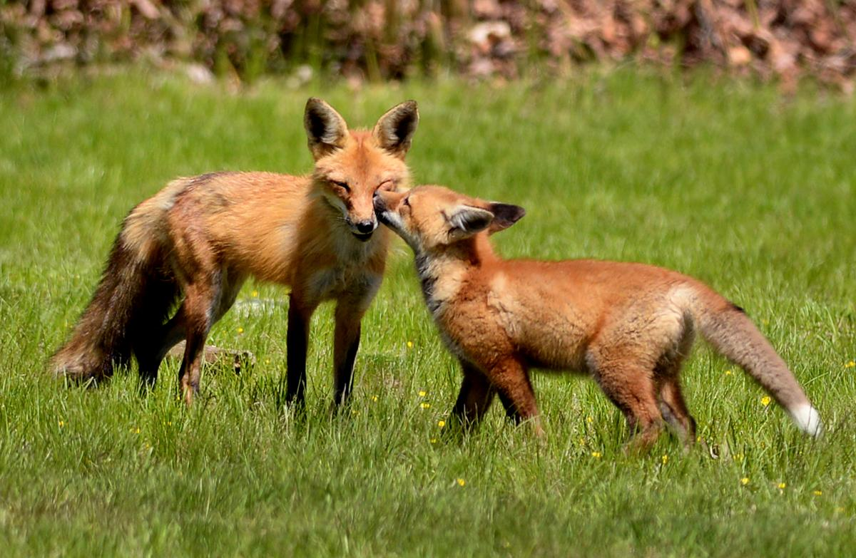 frolicking foxes the boston globe