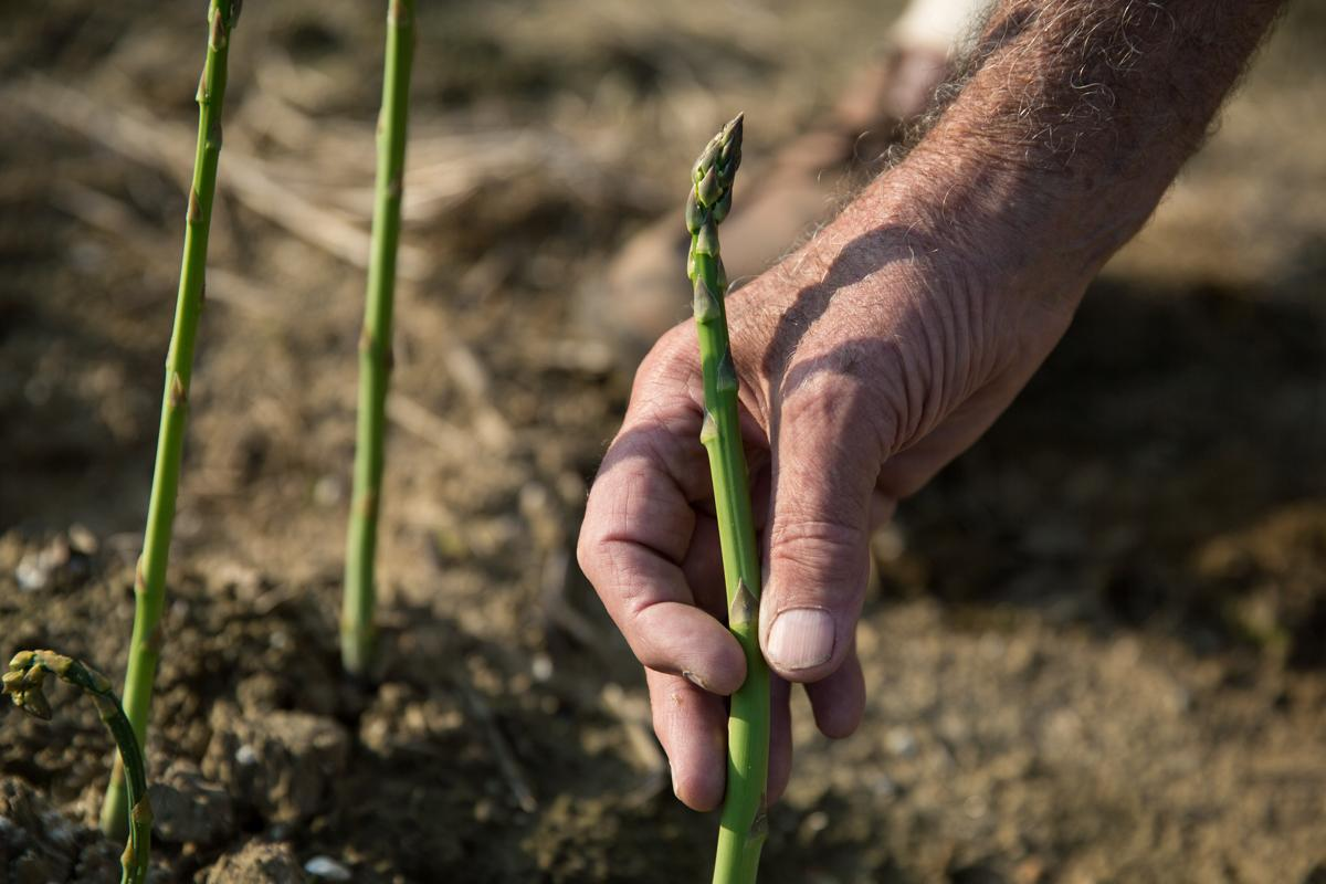 06/12/17 -- Concord, MA -- An asparagus spear is seen in the Verrill Farm fields on June 12, 2017, in Concord, Massachusetts. Asparagus spears grow individually and must be cut individually at the soil line, or just below, when harvested. (Kayana Szymczak for The Boston Globe)